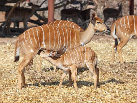 Little antelope Kudu trying to eat from his mom