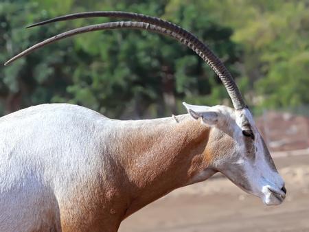 scimitar: Scimitar Horned Oryx  Stock Photo