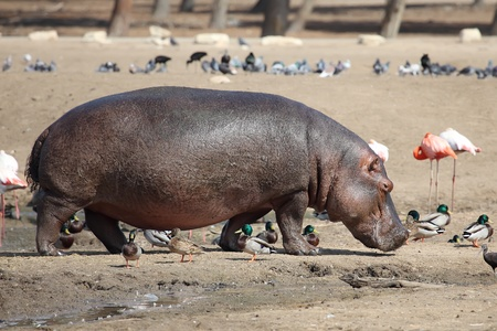 Hippopotamus  Hippopotamus amphibius  in the zoo photo