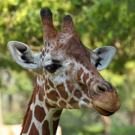close up of giraffe face  photo