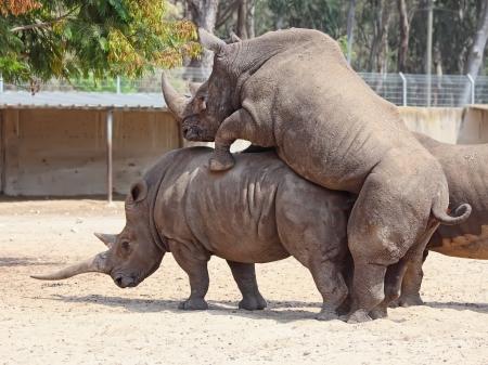 rhinoceros  Ceratotherium simum  mating in the nature reserve in Israel  Stock fotó