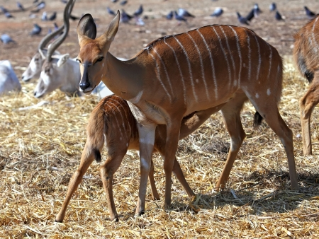 Little antelope Kudu trying to eat from his mom  Stock Photo - 13694461