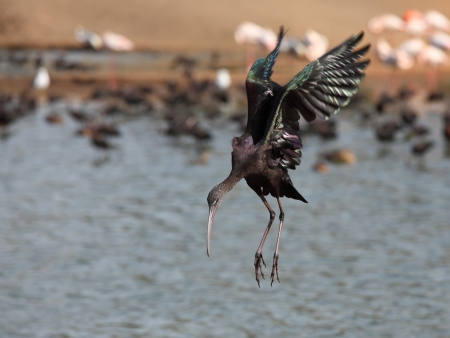 Landing on water The Glossy Ibis  is a wading bird in the ibis family Threskiornithidae  photo