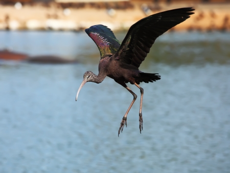 The Glossy Ibis  Plegadis falcinellus  is a wading bird in the ibis family Threskiornithidae Landing on water photo