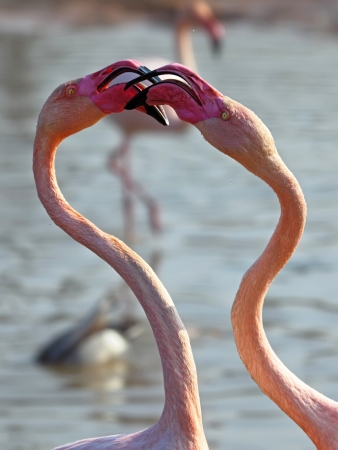 two flamingos close up, looking at each other Stock Photo - 14077870