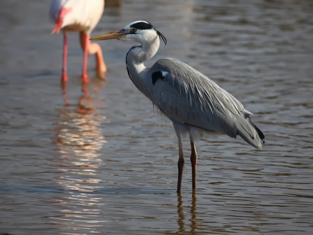 Beautiful grey heron  ardea herodias  photo