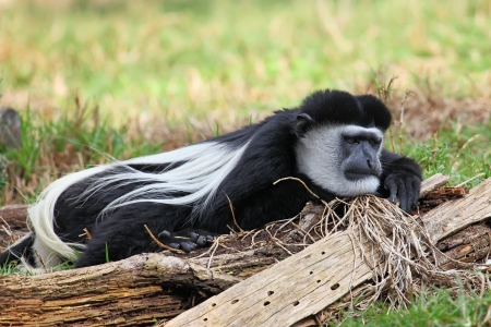 dozing: Guereza Monkey enjoying the sunshine and dozing  Stock Photo