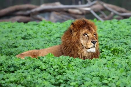 animales del zoo: Primer imagen de un león macho descansando en el césped Foto de archivo