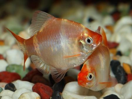 Couple of aquarium fish-Barbus(tiger barb or sumatra barb) Stock Photo - 14077867