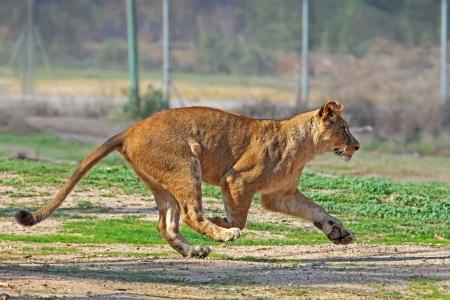 African Lioness running  Stock fotó
