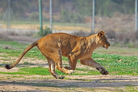 African Lioness running  Stock Photo