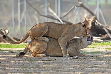young lion cubs play fight in the zoo