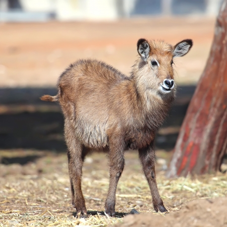 single female waterbuck photo