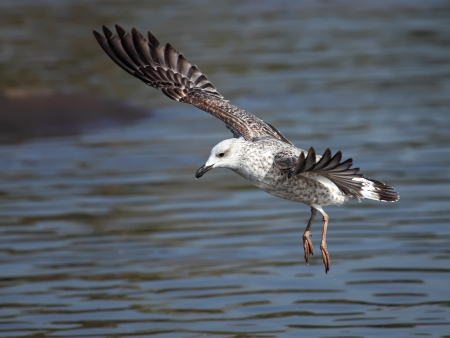 Young seagull captured in mid flight photo