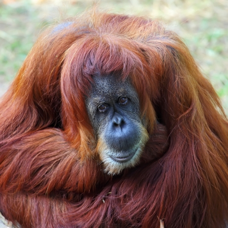 arboreal: Orangutan in captivity in a zoo,looking in the distance