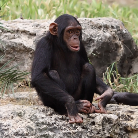The cub of a chimpanzee sitting on a rock at the zoo