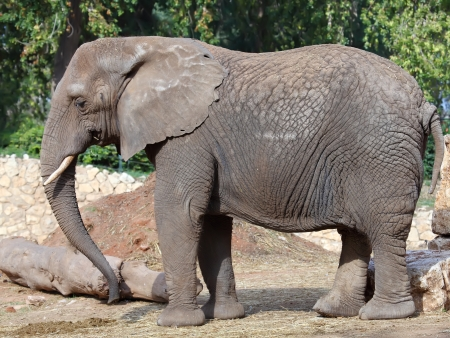 nature reserves of israel: Elephant in a zoo
