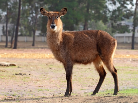 single waterbuck Stock Photo - 14440478