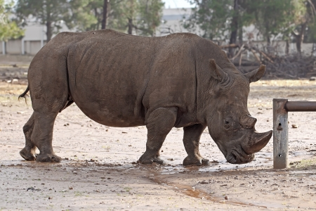 penned: Rhinoceros in the zoo, Israel Stock Photo