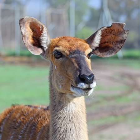 portrait of antelope Kudu