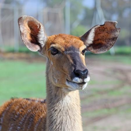 portrait of antelope Kudu  Stock Photo - 14440425