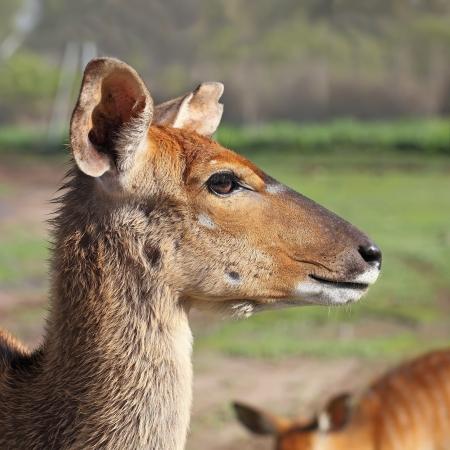 portrait of antelope Kudu Stock Photo - 14440574