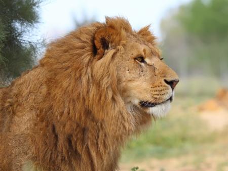 lion face: A closeup portrait of a beautiful African lion   Stock Photo
