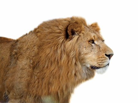 A closeup portrait of a beautiful African lion of a white background  photo