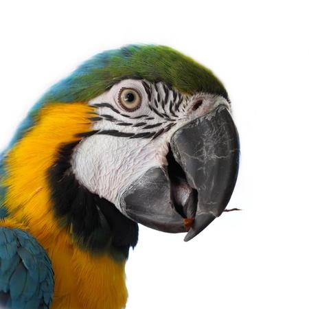 beaks: Blu e oro Macaw (Ara ararauna) su sfondo bianco Archivio Fotografico