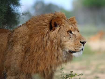 A closeup portrait of a beautiful African lion   Imagens