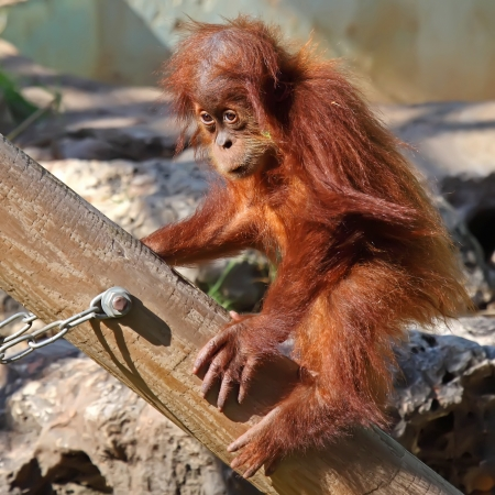 cute baby orangutan in the zoo photo