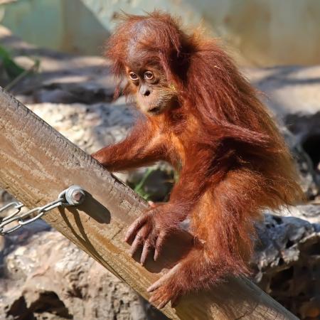 cute baby orangutan in the zoo photo