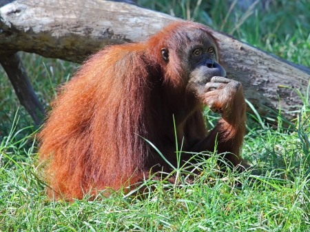 Orangutan in captivity in a zoo,looking in the distance photo
