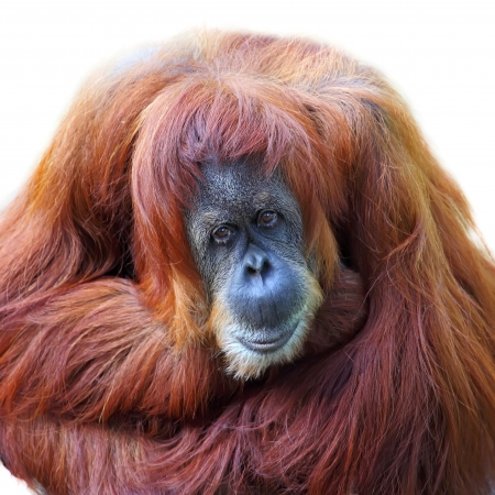 simian: Orangutan on white background
