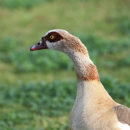 Egyptian geese looking into the distance