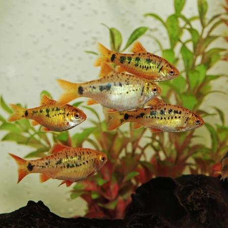 cichlidae: Puntius semifasciolatus Barbus semifasciolatus   - aquarium fish
