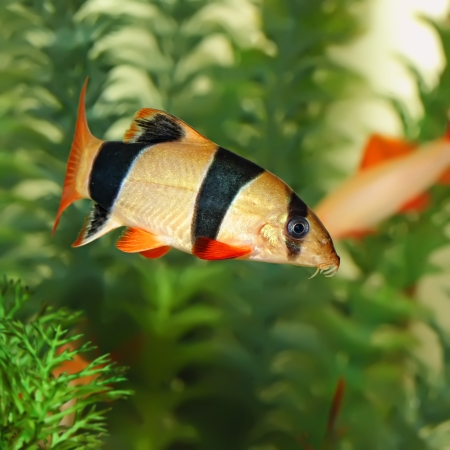 Colorful Clown Loach Fish - Botia macracanthus photo