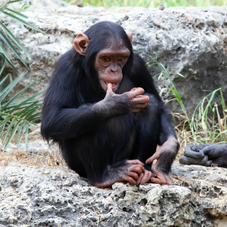 The cub of a chimpanzee sitting on a rock at the zoo photo