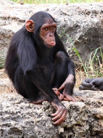 The cub of a chimpanzee sitting on a rock   photo