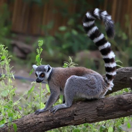 close-up of a ring-tailed lemur in zoo Stock Photo
