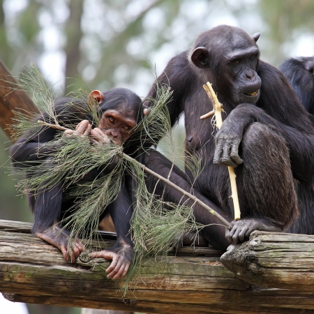 chimpanzee family  Stock Photo - 15684030
