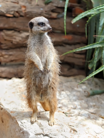 Portrait of a standing suricate on the stone Stock Photo - 15683853
