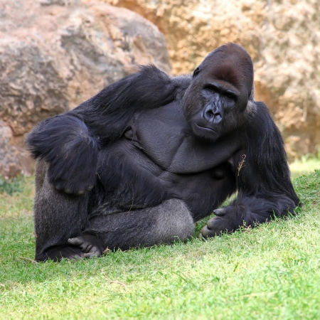 Male Gorilla lying in the grass  photo