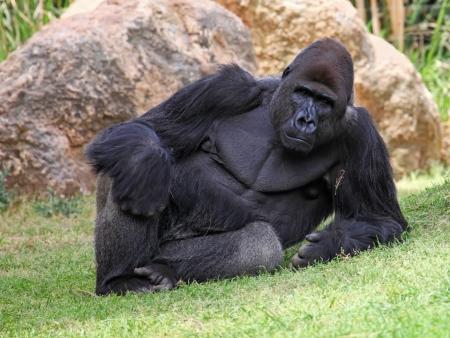 gorila: Gorila masculino tendido en la hierba