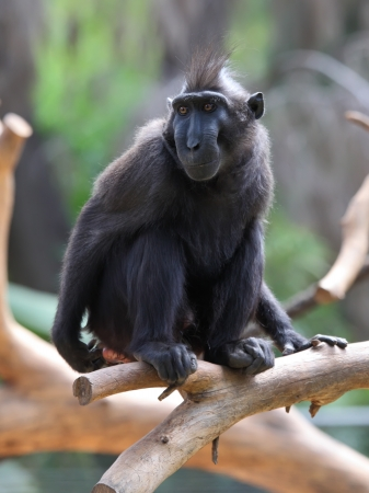 celebes macaque crested black macaque macaca nigra stock photo picture and
