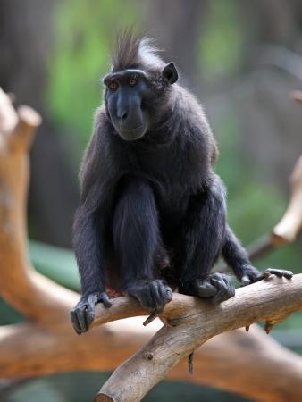 Crested Black Macaque  Macaca nigra   Stock Photo