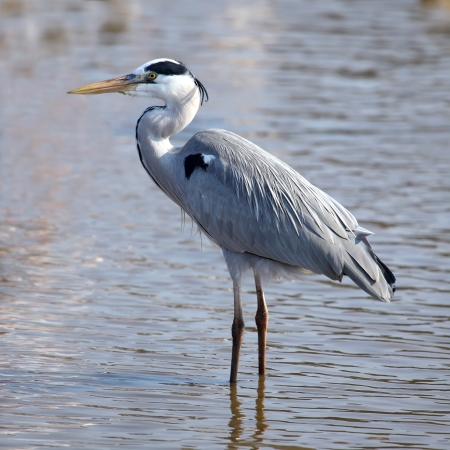 Beautiful grey heron  ardea herodias