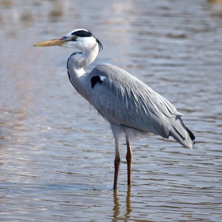 herodias: Beautiful grey heron  ardea herodias
