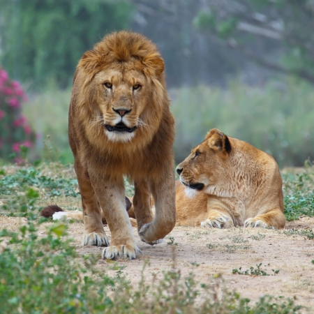 male and female: Male and female lion