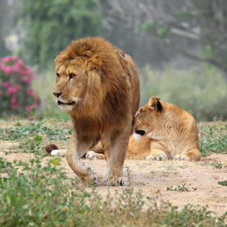 female lion: Male and female lion